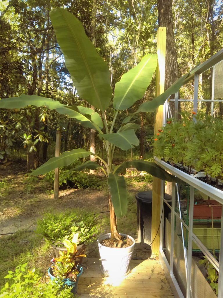 Apple Banana plant