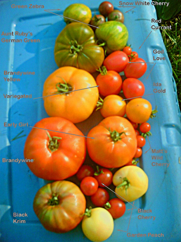 tips for growing tomatoes in pots