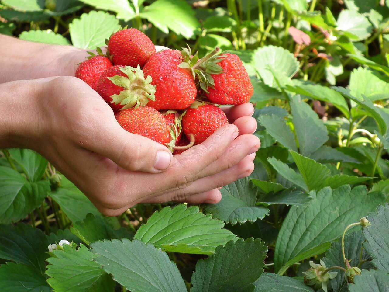 7 Real-Life Lessons on How to Grow Strawberries From Seeds (Video)