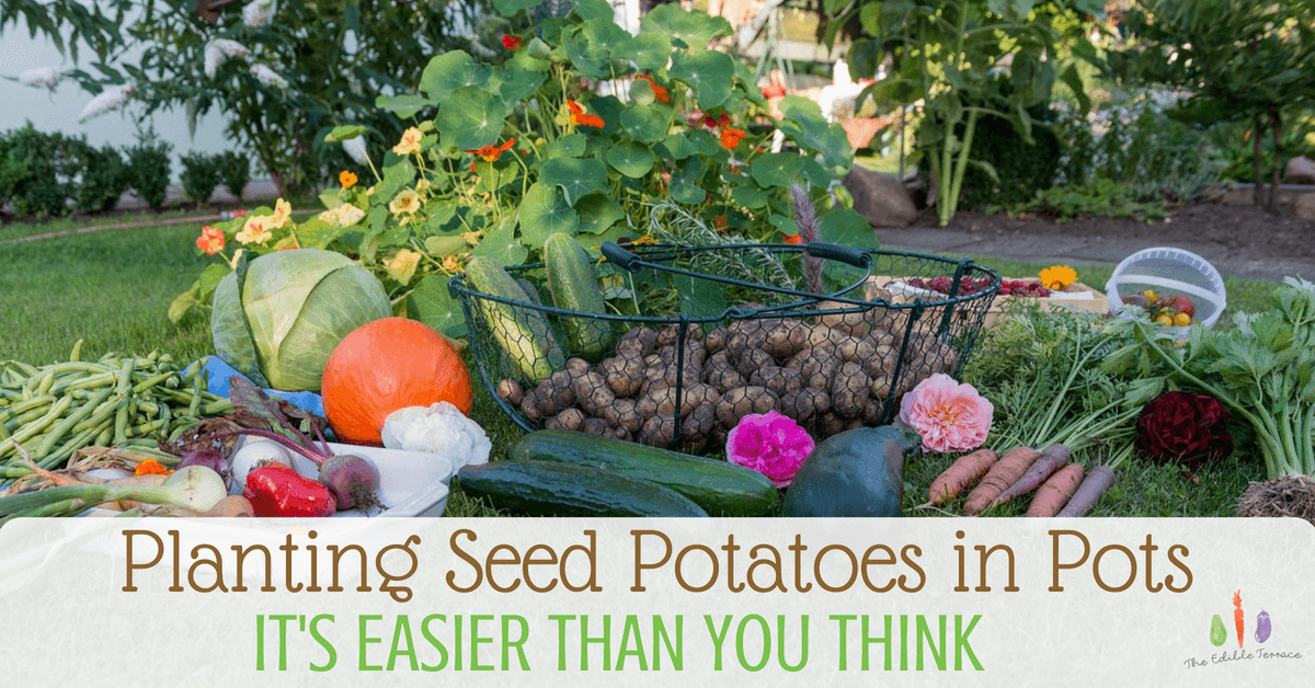Planting seed potatoes in containers