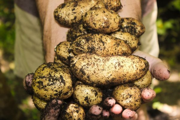 Plant seed potatoes in containers