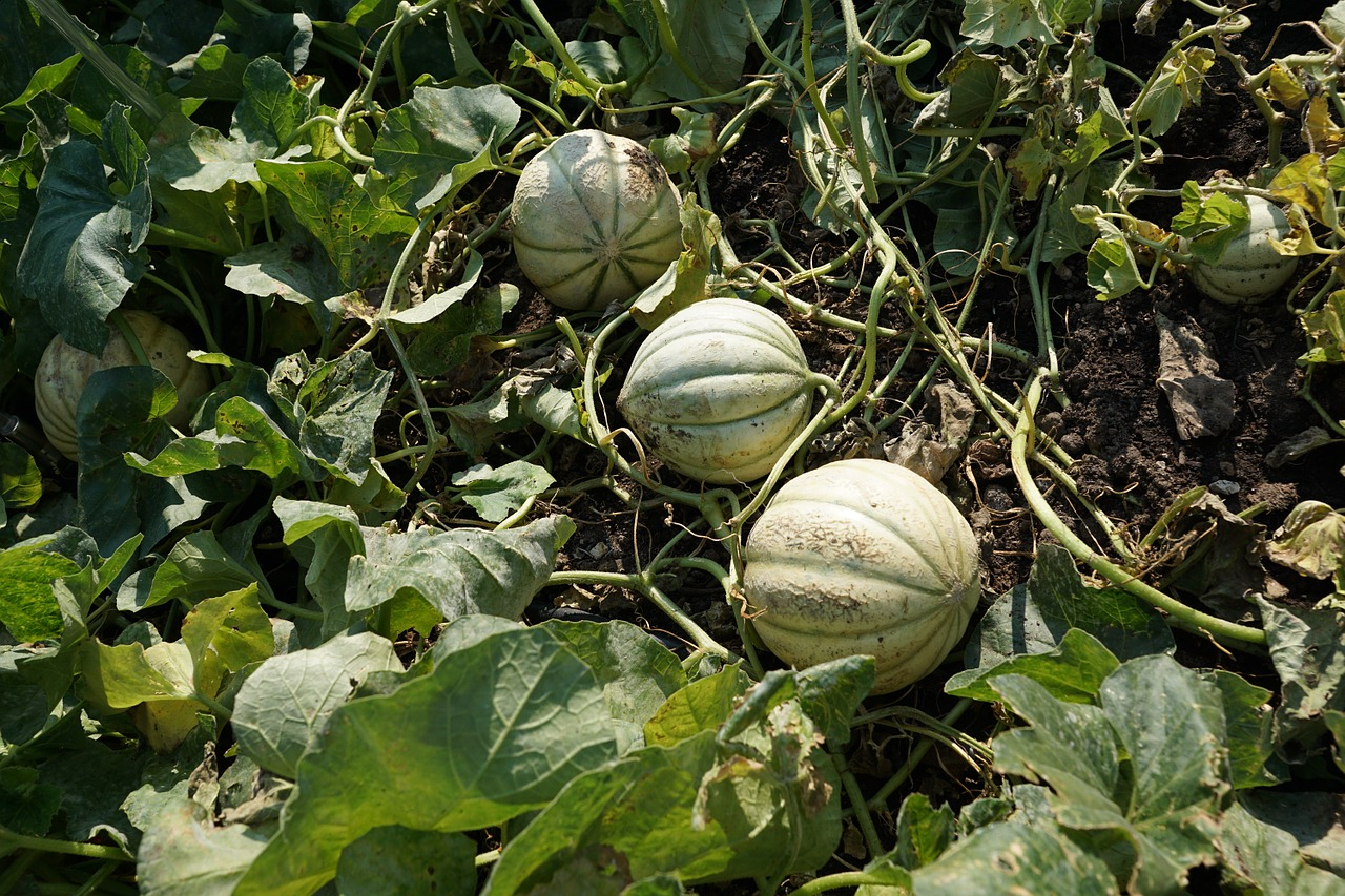 9 Valuable Tips On How To Grow Cantaloupe in Containers