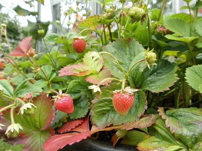 4 Essential How-To Steps for Growing Strawberries in Containers