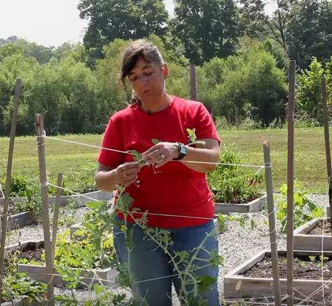 training watermelon to grow on trellis