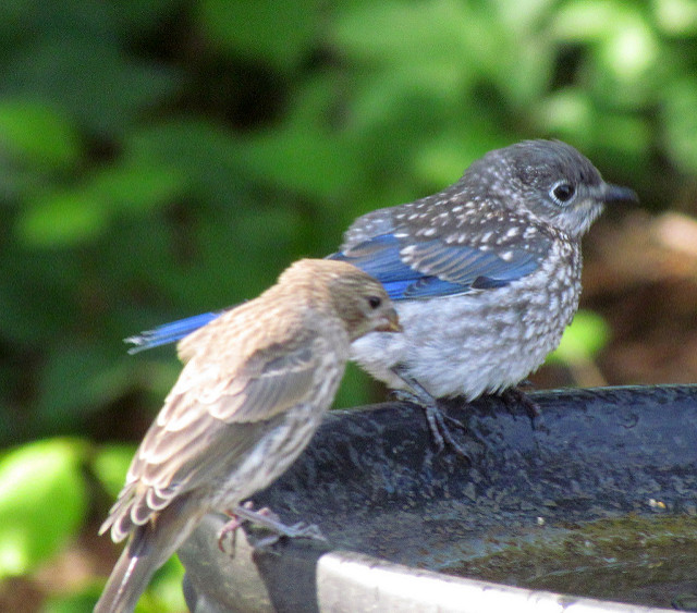 Bluebirds at water