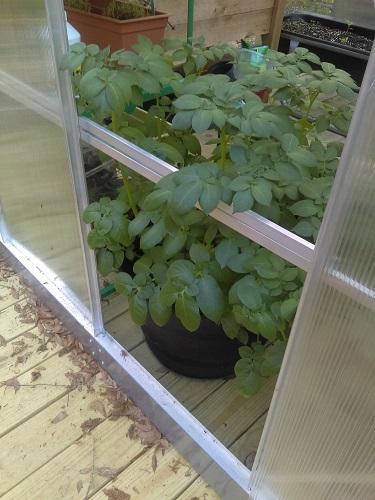 My thriving Yellow Potatoes.
