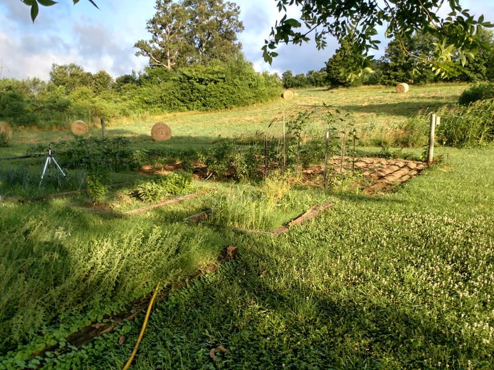 garden plants yellowing