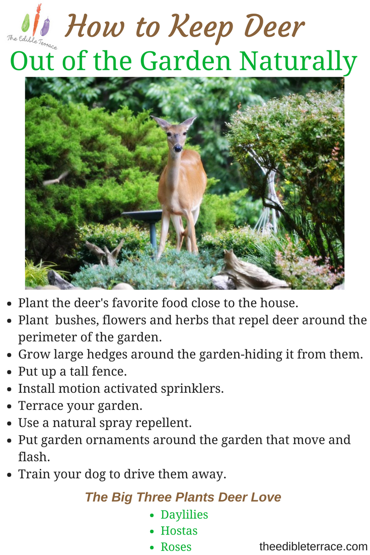 Deer are so cute and furry. Destructive little buggers though! I want to know how to keep deer out of the garden naturally & know I am not the only one!