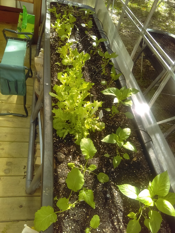 The Edible Terrace 10' feed trough with spring seedlings in it.