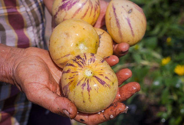 Grow cantaloupe in pots