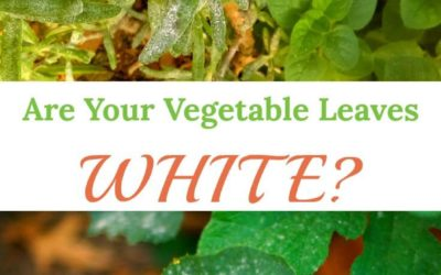 Are Your Vegetable Leaves Turning White? Helpful Answers Here.