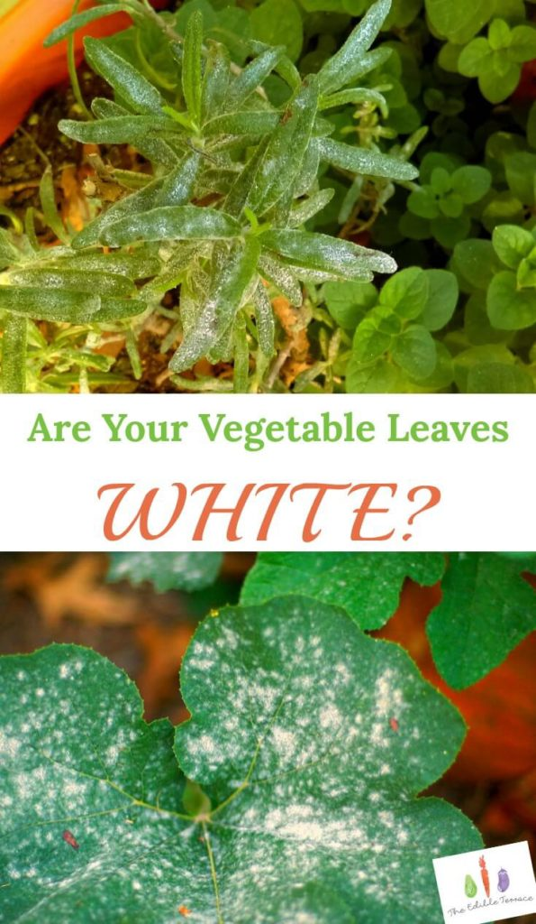 There are a couple reasons why your plant leaves turn white. It only comes down to a few reasons.