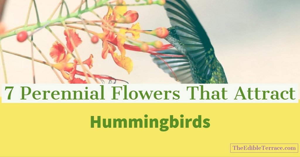 Become an expert on perennial flowers that attract hummingbirds perennial flowers that attract hummingbirds mightylinksfo Choice Image