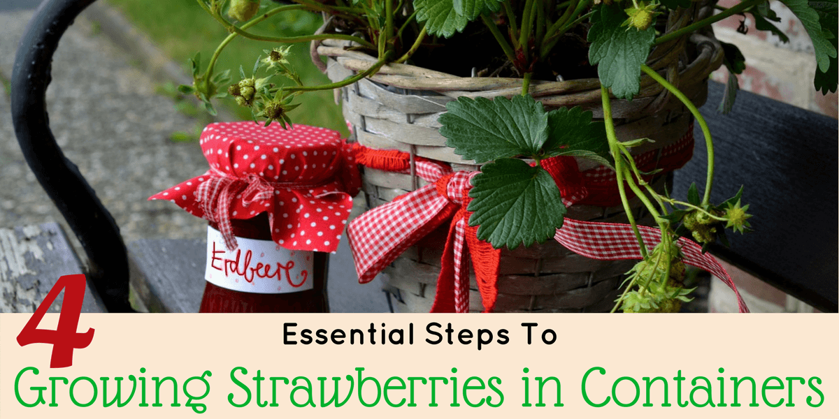 4 Essential How-To Steps for Growing Strawberries in Containers (Video)