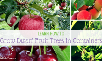 Learn How Growing Dwarf Fruit Trees In Containers Is Doable