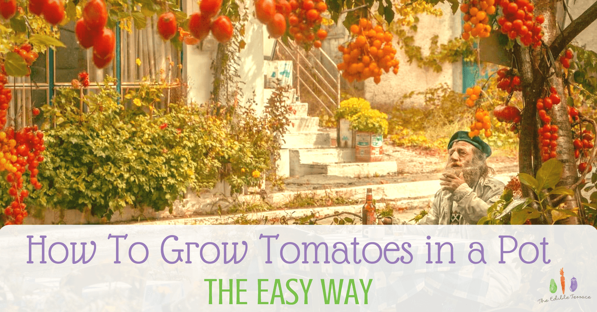 Tips For How To Grow Tomatoes In A Pot – The Easy Way