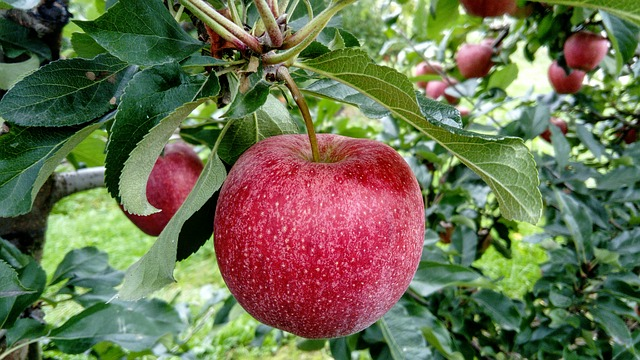 planting small apple orchard