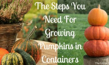 Can You Grow Pumpkins in Containers?