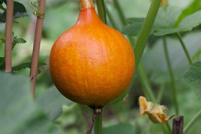 grow pumpkins pot