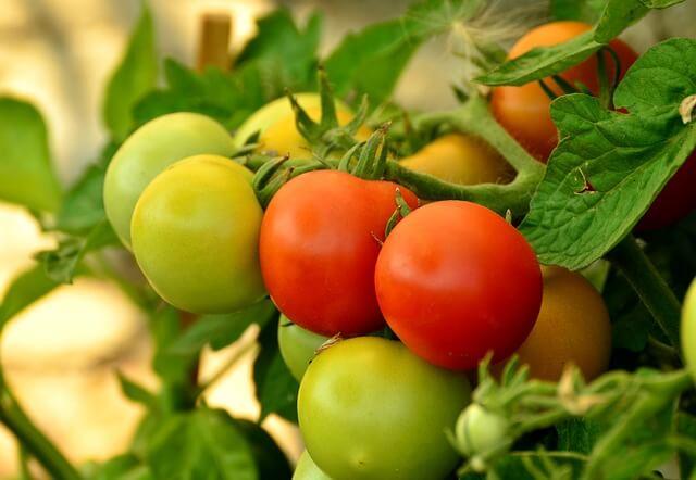 Start tomato plants seeds indoors
