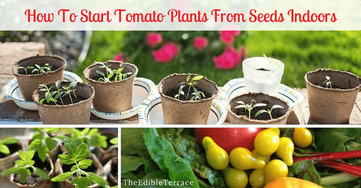 Starting Tomato Plants From Seeds Indoors Is Easy