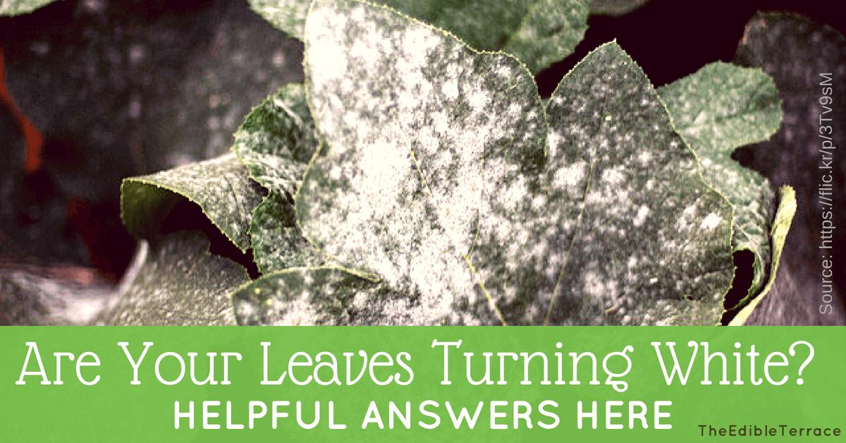Vegetable leaves turning white