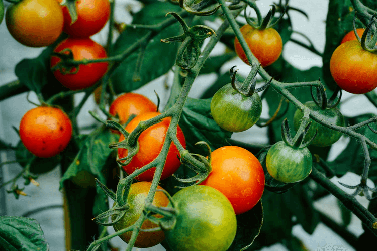 How to grow tomatoes vertically