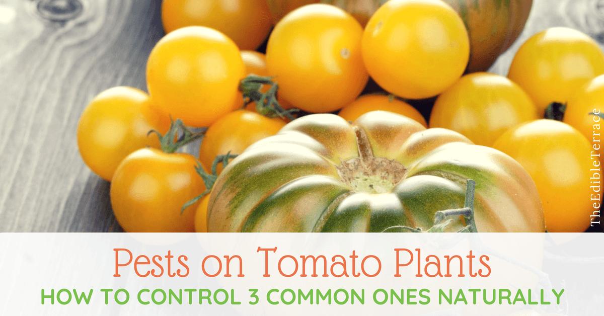 Pests on Tomato Plants