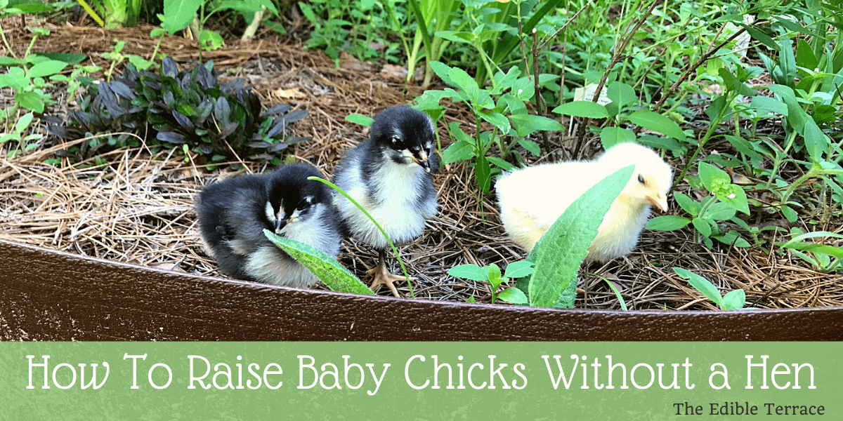 How To Raise Baby Chicks Without A Hen
